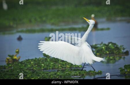Cattle Egret In Water - Stock Photo