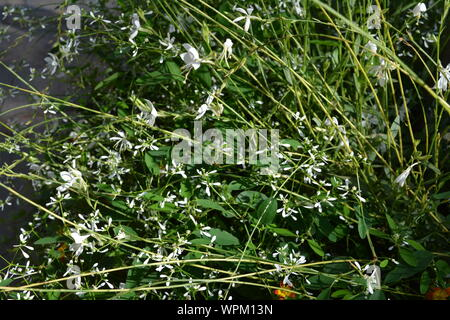 White gaura also known as Lindheimer's beeblossom in a garden at Duesseldorf in Germany - Stock Photo