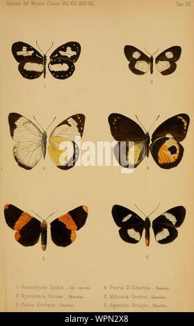 Annali del Museo civico di storia naturale di Genova 15 Plate 4 1 Tellervo zoilus (Fabricius, 1775) 2 Utetheisa pellex (Linnaeus, 1758) 3 Delias enniana (Oberthür, 1880) 4 Delias albertisi (Oberthür, 1880) 5 Buzara gestroi (Oberthür, 1880) 6 Immetalia longipalpis (Kirsch, 1877) - Stock Photo