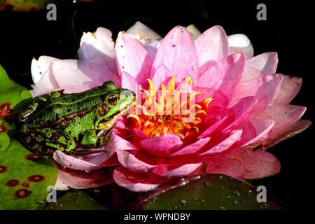 Close-up Of Frog Resting On Water Lily - Stock Photo