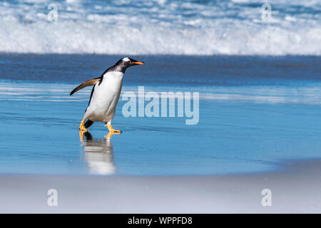 Wild, adult Gentoo Penguin, Pygoscellis papua, emerging from the surf at the Neck, Saunders Island, in the Falkland Islands, South Atlantic Ocean