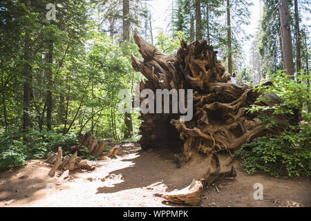 Fallen Red Wood Tree in Yosemite National Park - Stock Photo