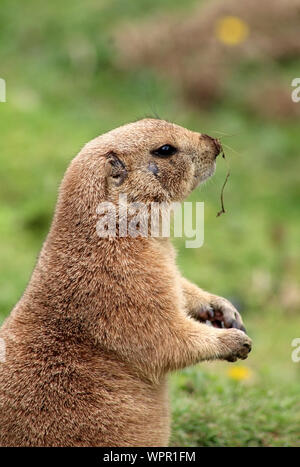 Prairie Dog Watching - Stock Photo