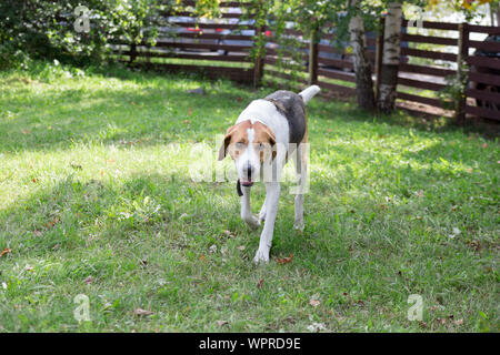 Russian hound is running on a green meadow in the park. Pet animals. Purebred dog. - Stock Photo