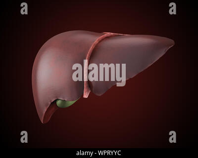 Realistic anatomical model of healthy human liver with gallbladder isolated on white - Stock Photo