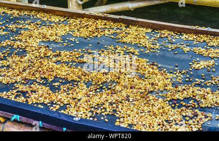View on coffee beans drying near Salento Antioquia, Colombia - Stock Photo