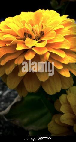 Macro Shot Of Yellow Hibiscus Flower - Stock Photo