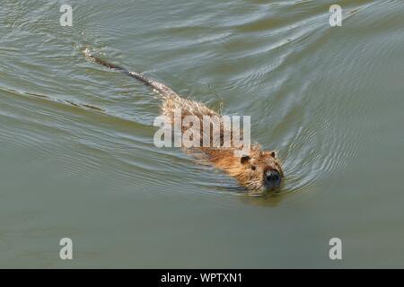 Wild Animal Swimming In Lake - Stock Photo