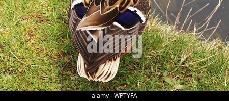 High Angle View Of Mallard Duck On Grass - Stock Photo