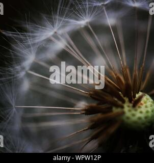 Macro Shot Of Dandelion - Stock Photo