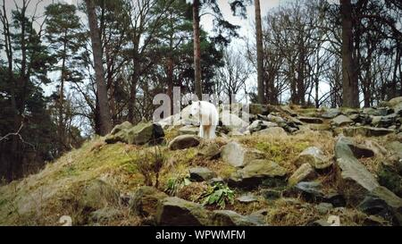Wolf On Rock In Forest - Stock Photo