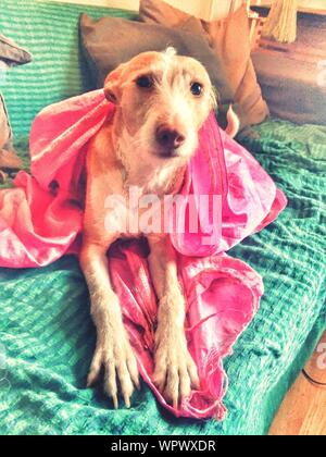 Portrait Of Podenco Canario Dog Relaxing On Sofa At Home - Stock Photo