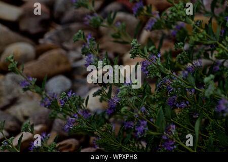 Bumble Bee Gathering Nectar on Purple Flowers at Canyon City Aqua Park, Canyon, Texas. - Stock Photo
