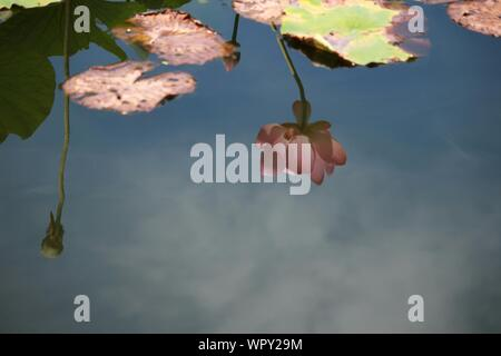 High Angle View Of Pink Water Lily Reflection In Pond - Stock Photo