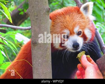 Cropped Image Of Hand Feeding Red Panda - Stock Photo