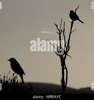 Silhouette Birds On Branches Against Clear Sky - Stock Photo