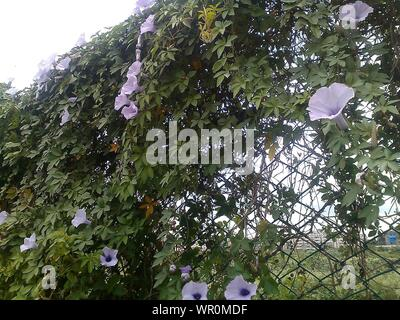 Low Angle View Of Purple Flowering Plants Growing On Chainlink Fence - Stock Photo
