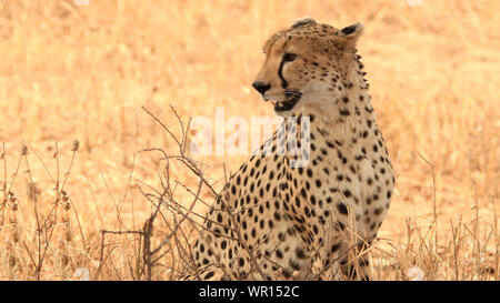 Close-up Of Cheetah Looking Away While Sitting On Field - Stock Photo