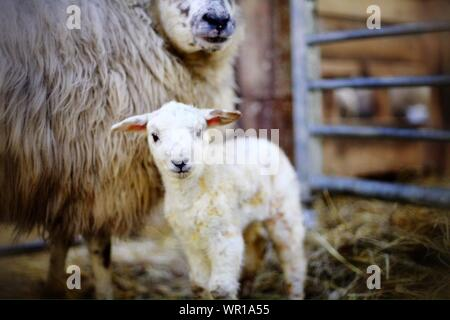Portrait Of Lamb With Sheep In Stable - Stock Photo