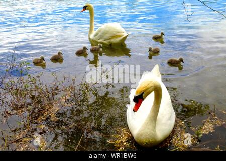 Mute Swan With Cygnets Swimming - Stock Photo