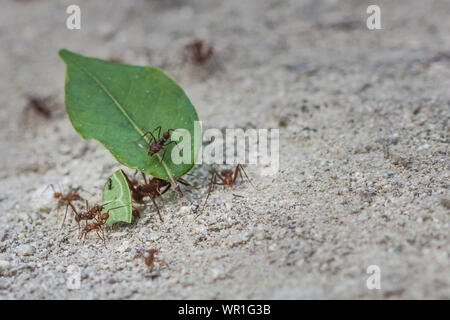 High Angle View Of Ants Carrying Leaves On Sand - Stock Photo