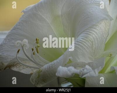 Close-up Of White Amaryllis Blooming Outdoors - Stock Photo