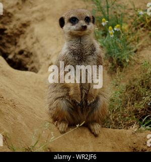 Close-up Of Meerkat Relaxing On Field - Stock Photo