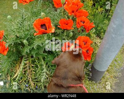 Dog Sniffing Poppy On Field - Stock Photo
