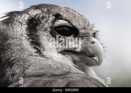 Close-up Of Great Grey Owl Against Sky - Stock Photo