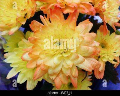 Macro Shot Of Yellow Dahlia Flowers - Stock Photo