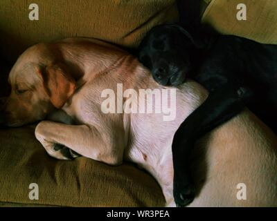 High Angle View Of Dogs Sleeping On Sofa - Stock Photo