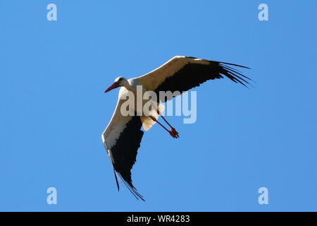 Low Angle View Of Stork Flying Against Clear Blue Sky On Sunny Day - Stock Photo