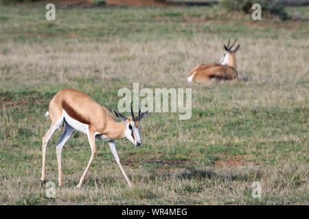 Two adult female springbok in lush green grassland. - Stock Photo