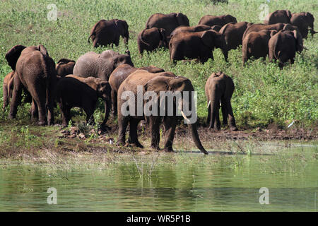 Herd of elephants playing and drinking by the waters edge, Pongolapoort Dam, South Africa - Stock Photo