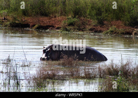 Pod of hippopotamus relaxing in the water at Pongolapoort Dam, South Africa - Stock Photo