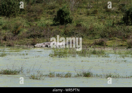 Crocodile lying on the bank of the Pongolapoort Dam, South Africa - Stock Photo