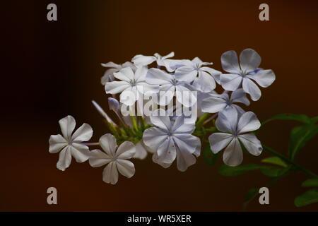 WHITE BLOSSOMS - Stock Photo