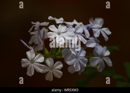 MILKY WHITE BLOSSOMS - Stock Photo