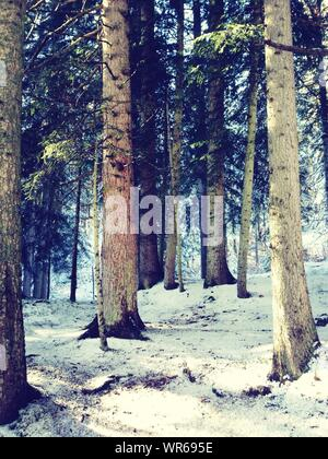 Trunks Of Pine Trees In Snowy Forest - Stock Photo