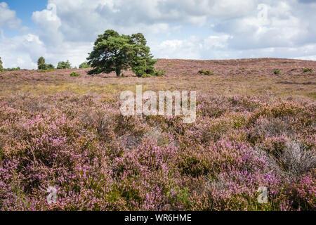 Heather in bloom at Morden Bog National Nature Reserve, Wareham Forest, Dorset, England, UK. Stock Photo