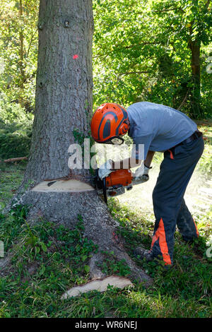 Chainsaw opeater cuts a notch or 'face cut' and prepares the tree for felling. - Stock Photo