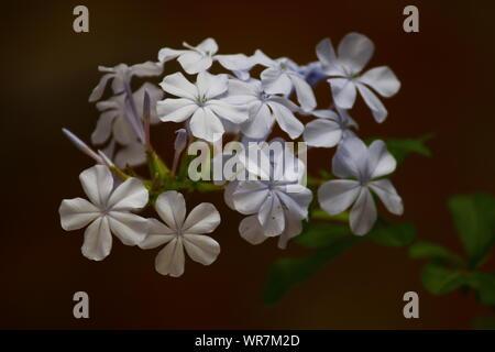 THE MILKY WHITE BLOSSOMS - Stock Photo