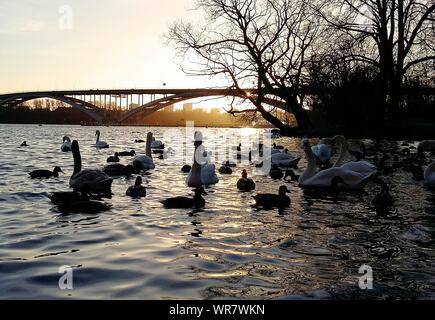 Swans And Ducks Swimming On River At Sunset - Stock Photo