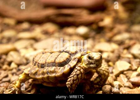 Close-up Of Turtle Walking - Stock Photo