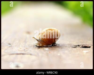 Snail On Wooden Surface - Stock Photo