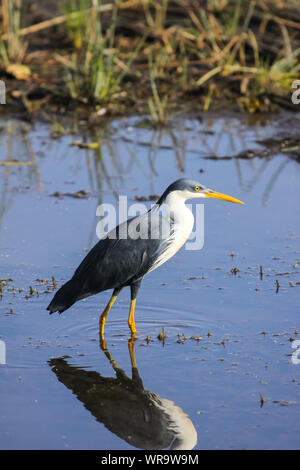 Pied heron in the water with reflection, Yellow Water, Kakadu National Park, Australia - Stock Photo