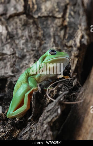 Close up of a Green tree frog sitting in a tree, Karumba, Queensland, Australia