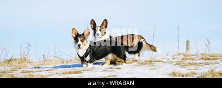 Panoramic Shot Of Cardigan Welsh Corgis On Snow Covered Field Against Sky