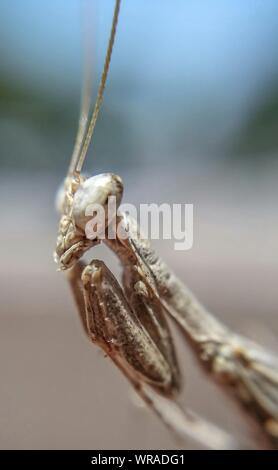 Macro Shot Of Praying Mantis - Stock Photo
