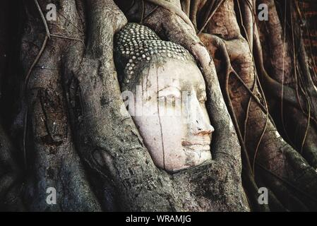 Stone Buddha Head Entwined In Roots Of Fig Tree - Stock Photo